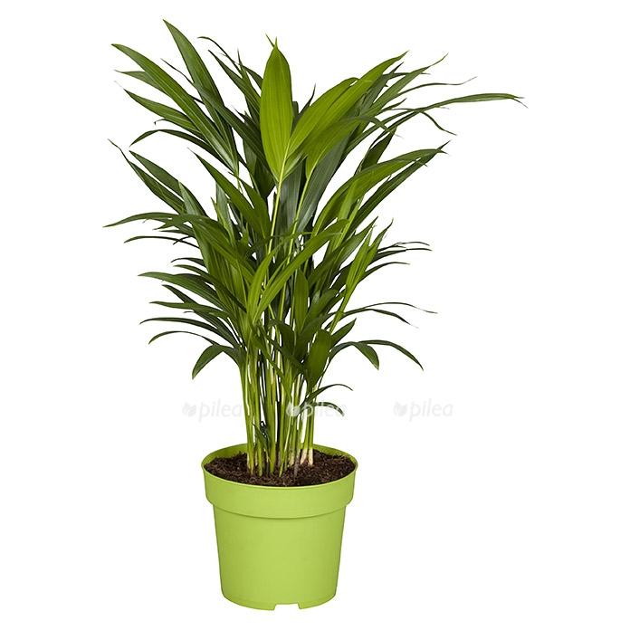 Купить Хризалидокарпус пальма