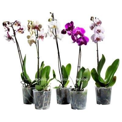 Орхидея Микс — отцветает