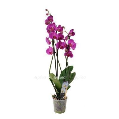 Орхидея Фаленопсис панда 3 ветки