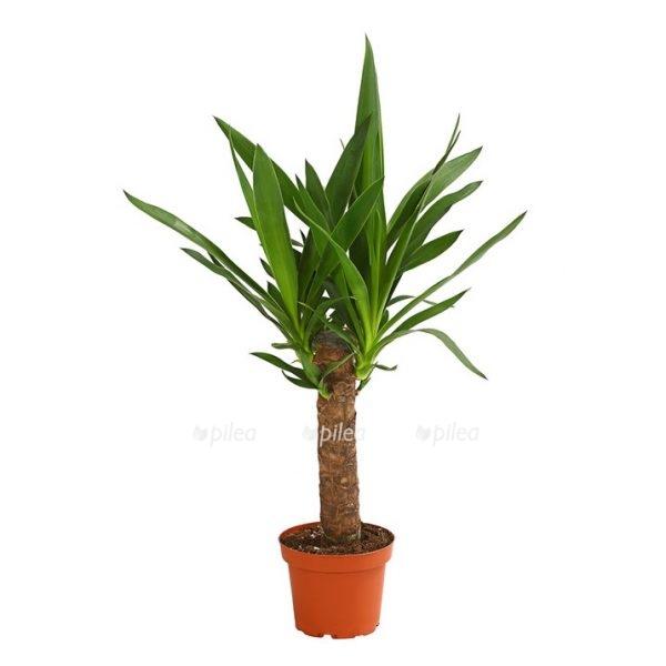 Юкка пальма 1 ствол