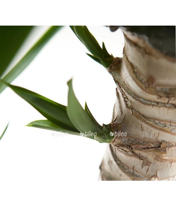 Юкка пальма