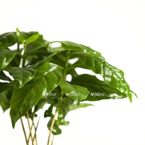 Кофейное Дерево «Кофе Арабика»