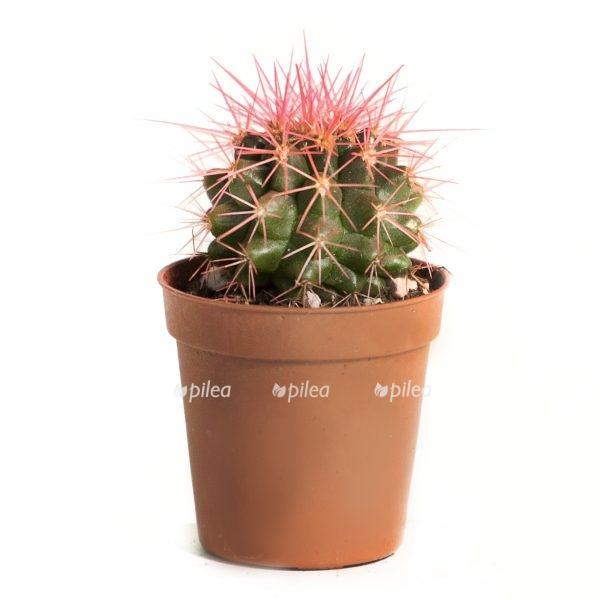 Эхинокактус Розовый