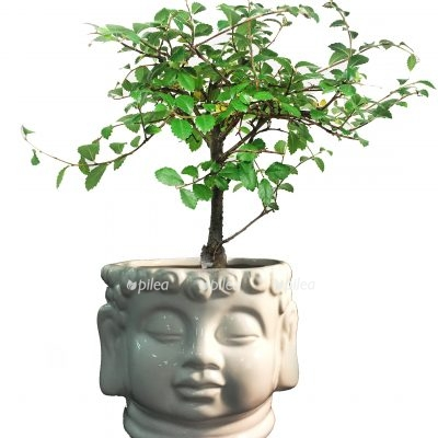 Бонсай «Будда»