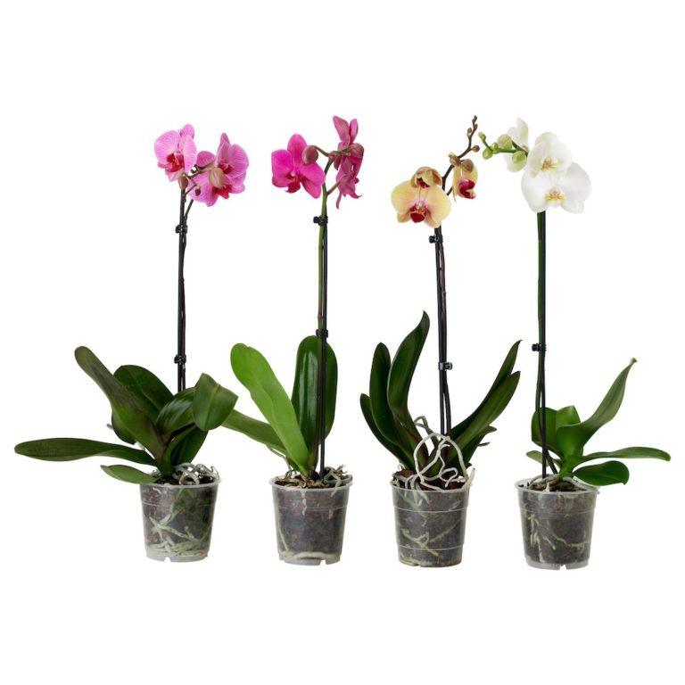 Купить Орхидея Фаленопсис микс 1 ветка