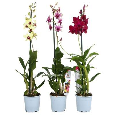 Орхидея Дендробиум Санок микс