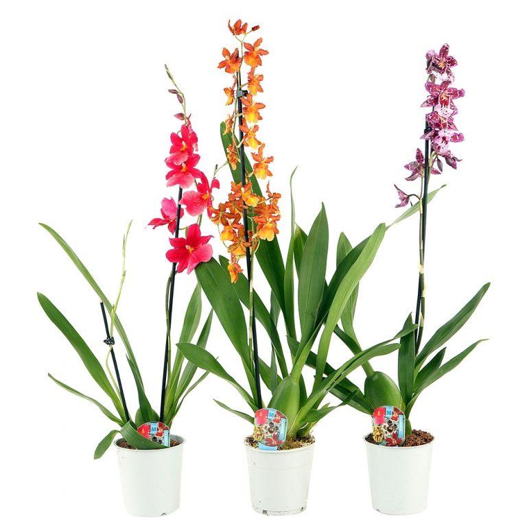 Орхидея Камбрия Микс