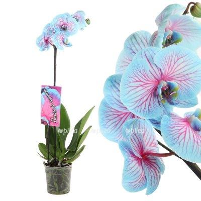 Орхидея Фаленопсис Чудо Природы