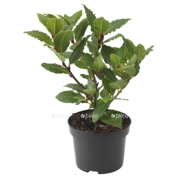 Лавровое дерево или Лавр