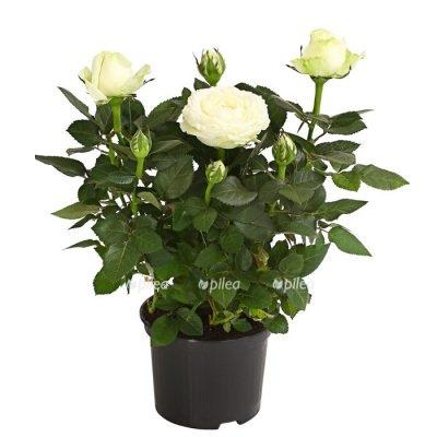 Купить Роза Парад