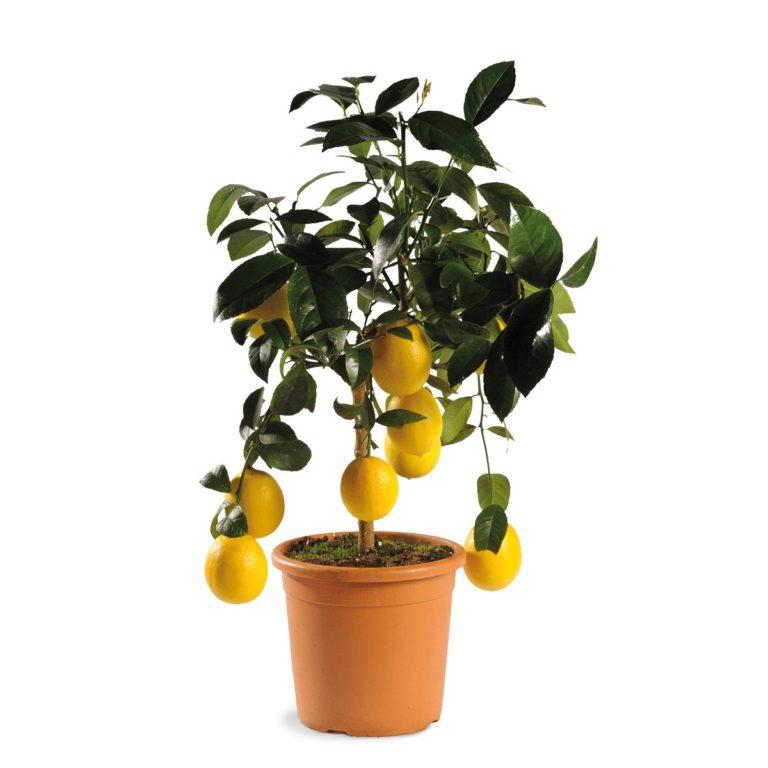 Купить Цитрус Лимон Мейера