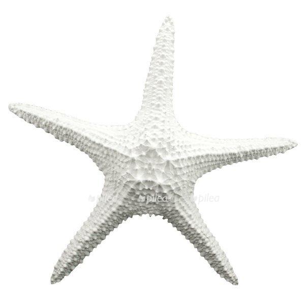 Звезда морская «Филиппины»