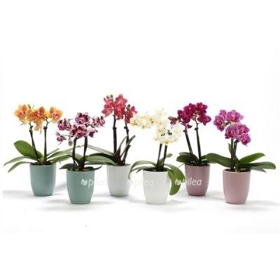 Орхидея Мини без кашпо