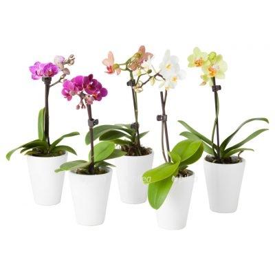 Орхидея Мини