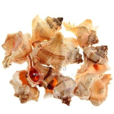 Ракушки «Фасциолярия Трапециум» 5 шт