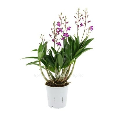 Орхидея Эпидендрум Центропеталум Панама