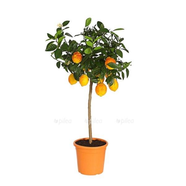 Купить Цитрус Лимон Россо