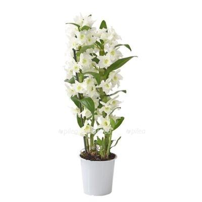 Купить Орхидея Дендробиум белый