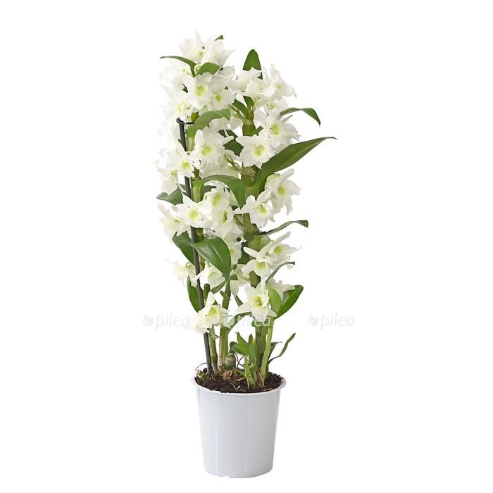 Купить Орхидея Дендробиум Нобиле белый