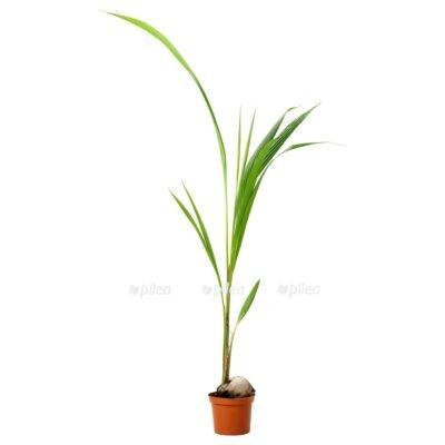 Кокосовая Пальма Нуцифера
