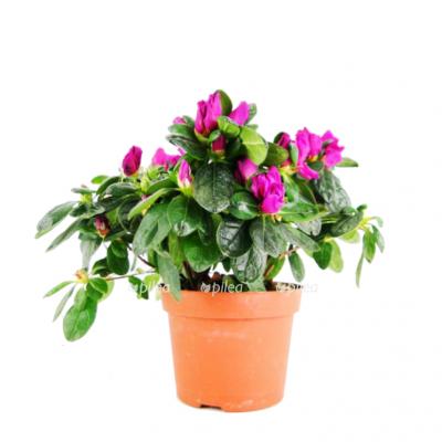 Азалия Хималайя Фиолетовая купить