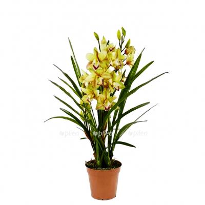 Орхидея Цимбидиум микс 12/65