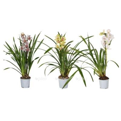 Купить Орхидея Цимбидиум