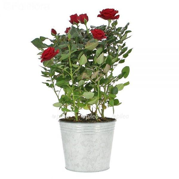 Купить Роза Палас Аликанте Красная