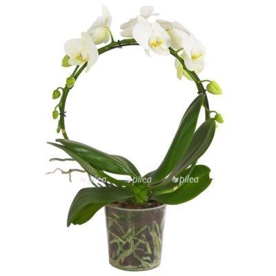Купить Орхидея Фаленопсис Арка