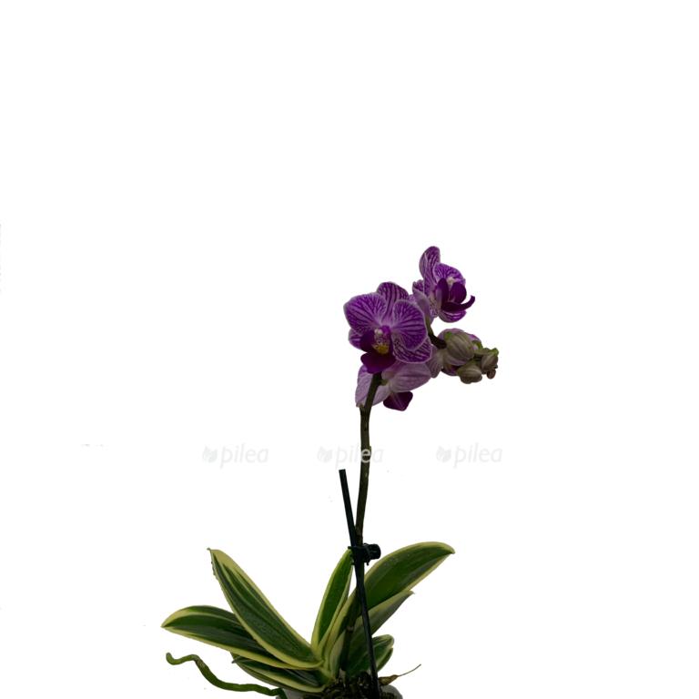 Купить Орхидея Фаленопсис Вариегата