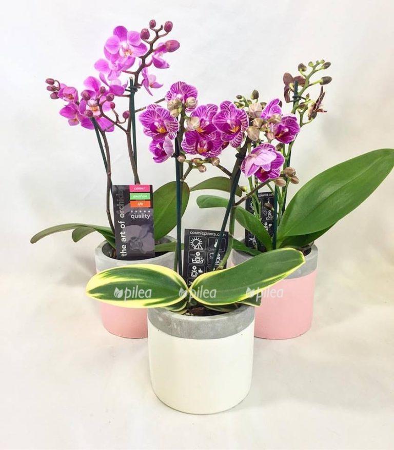 Орхидея Фаленопсис Вариегата