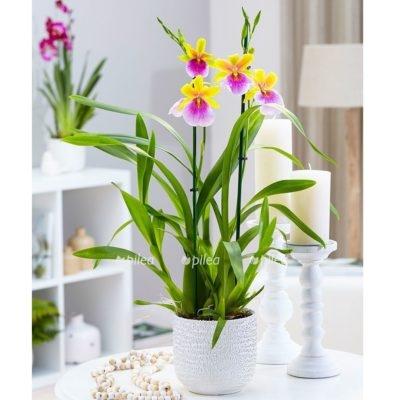 Купить Орхидея Милтония Сансет