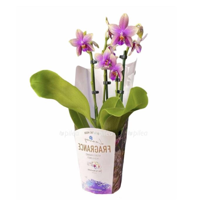 Орхидея Фаленопсис Лиодоро Парфюм