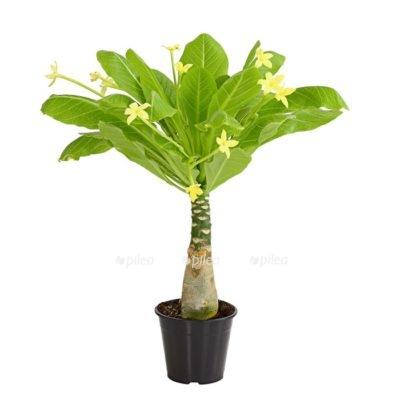 Купить Бригамия Инсигнис Гавайская Пальма