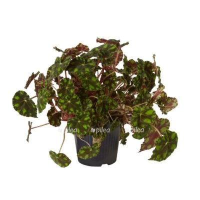 Купить Бегония Декоративно-лиственная Тайгер