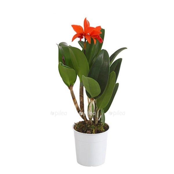 Орхидея Каттлея микс 1 ств