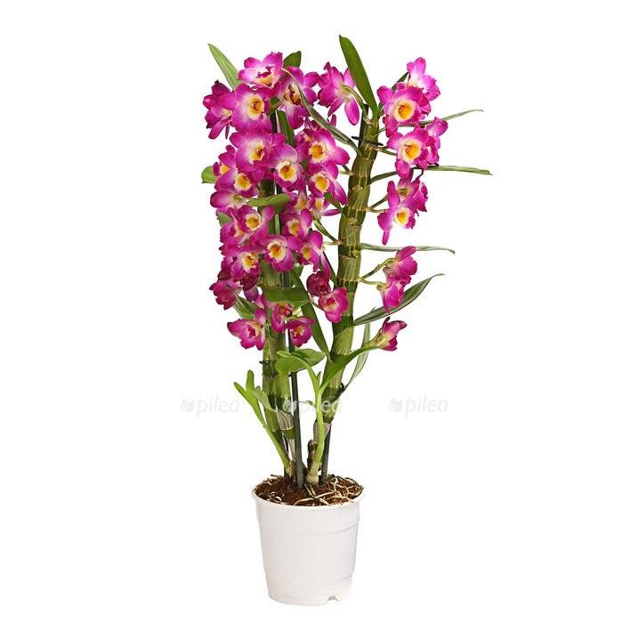 Купить Орхидея Дендробиум Нобиле Акатсуки