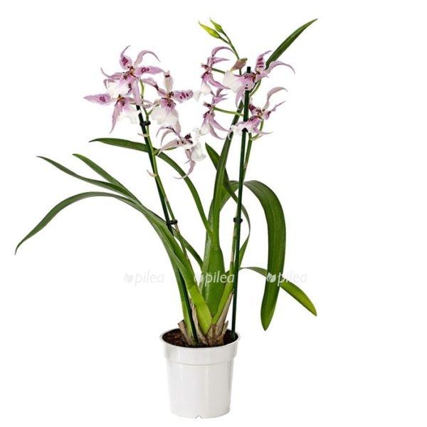 Купить Орхидея Мильтассия Пегги Рун