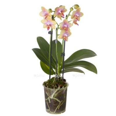 Regbnm Орхидея Лиодоро Парфюм