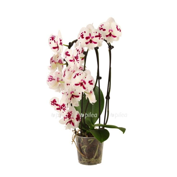 Купить Phalaenopsis Cascade