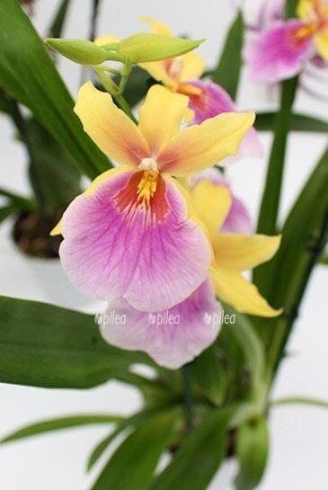 Орхидея Милтония Сансет