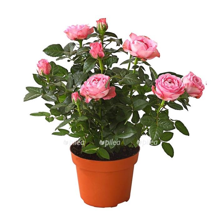 Купить Роза Арома