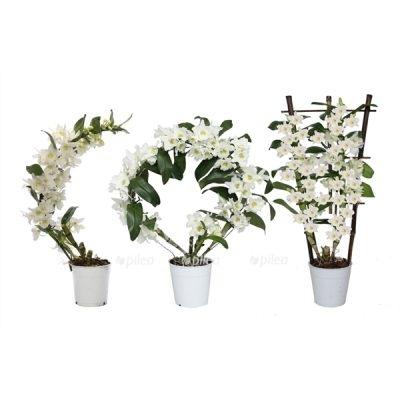 Орхидея Дендробиум Нобиле Арка