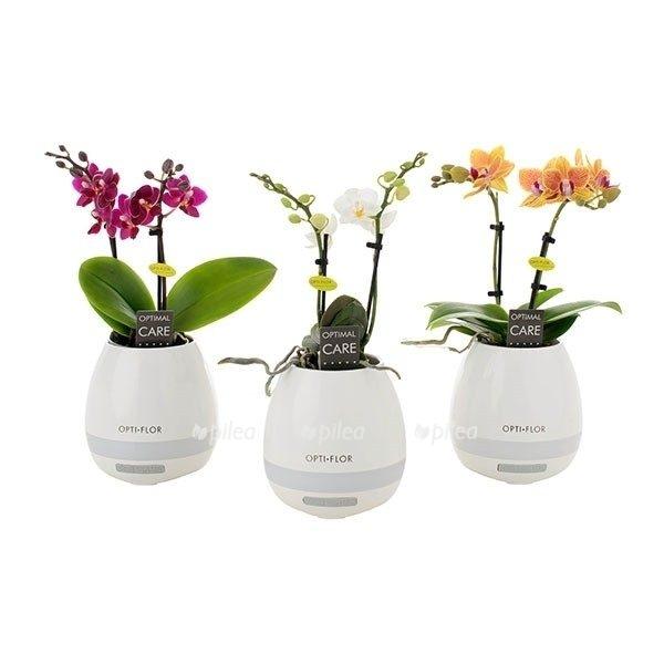 Орхидея Фаленопсис Мини в музыкальном кашпо