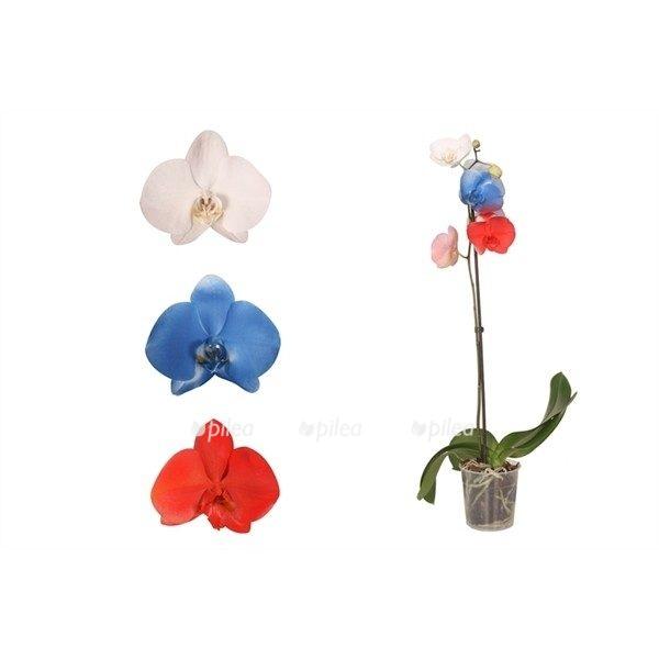 Орхидея Фаленопсис Российский Флаг
