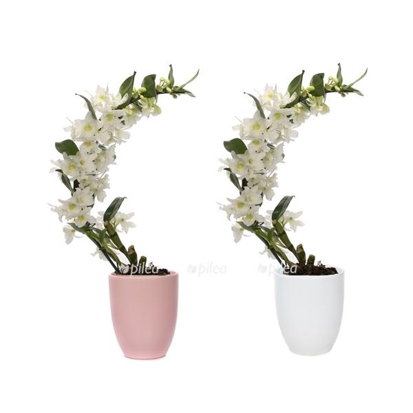 Орхидея Дендробиум Нобиле бумеранг
