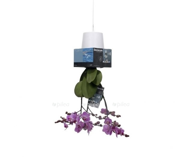 Орхидея Мультифлора Персева Флайинг