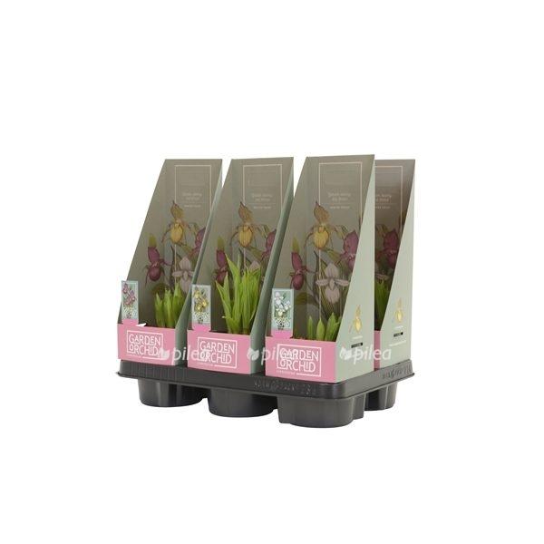 Купить Орхидея Садовая Плейоне