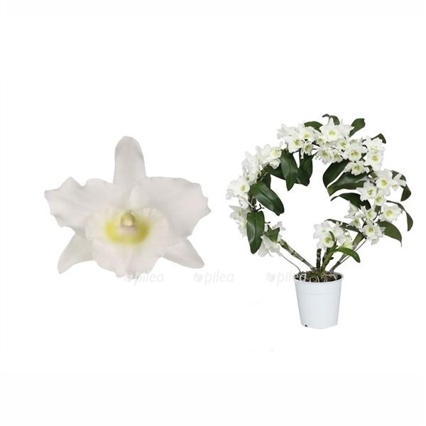 Купить Орхидея Дендробиум Нобиле Арка