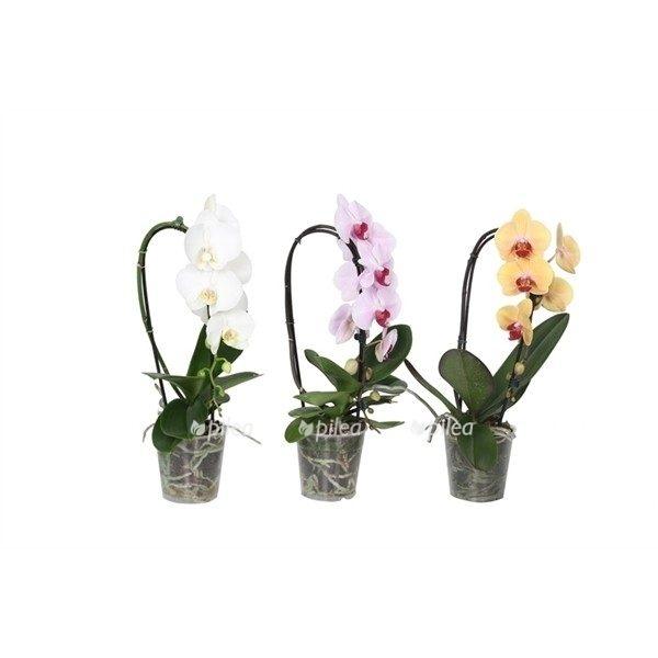 Орхидея Микс Арка
